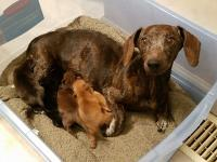 Meet the Darling Dachshund Tribe.    Momma Mandy and