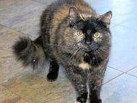 Mandy's story Mandy, DLH, Tortie spayed female.