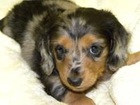 MANNY is a longhair black & & tan silver dappled small