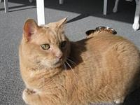 Manny, Declawed Senior Cat that needs a Quiet Home's
