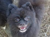 Meet Manny! Manny is a 4 year old male pomeranian, and