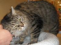 Manx - Alyssa - Medium - Adult - Female - Cat Alyssa is