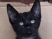 Manx baby boy's story This little cutie is in a foster