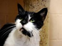Manx - Betty - Small - Adult - Female - Cat Betty is a