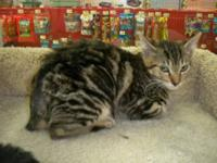 Manx - Briana - Medium - Young - Female - Cat Who can