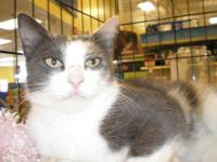 Manx - Bunny Marie - Large - Adult - Female - Cat