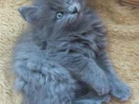 Adorable, purebred Manx/Cymric kittens, 8 weeks old, 1