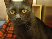 Manx - Fenley - Small - Young - Male - Cat Hi! My name
