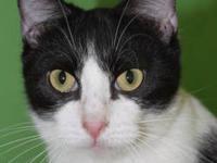 Manx - Gabrielle - Medium - Young - Female - Cat 'My