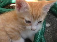 Orange tabby Manx male kitten. Sweet, affectionate,