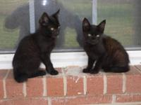 I have 2 manx kittens for sale. One has a 1/4 tail and