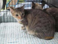 Manx - Leeann - Medium - Young - Female - Cat Very
