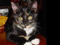 Manx - Margaret - Medium - Adult - Female - Cat