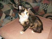 Manx - Mitzie - Small - Young - Female - Cat Mitzie is