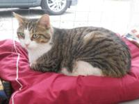 Manx - Muffin - Medium - Adult - Female - Cat Muffin is