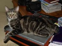 Manx - Oreo - Small - Young - Female - Cat Oreo is