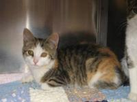 Manx - Pixie - Medium - Young - Female - Cat Just as