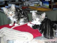 MANX PUREBRED KITTENS AVAILABLE. BORN AUGUST 7TH 2013.