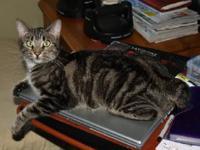 Manx - Sheba - Small - Adult - Female - Cat Sheba is