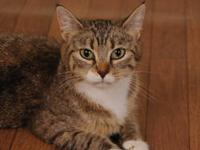 Manx - Stubbet - Small - Adult - Female - Cat Stubbet
