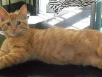 Manx - Sugar & Spice - Medium - Young - Male - Cat Two