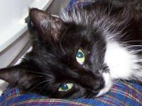 Manx - Tamara - Small - Young - Female - Cat Please