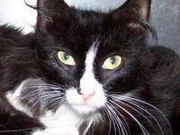 Manx - Tia - Small - Young - Female - Cat Please visit