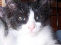 Manx - Twinkle - Small - Baby - Female - Cat Please