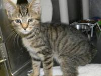 Manx - Widget - Medium - Baby - Female - Cat Adoption