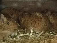 13 DEGUS (7 female, 6 male) all 1 year and younger