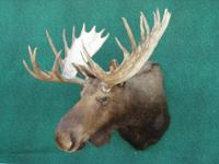 I have many taxidermy mounts, Elk, MOOSE, BUFFALO,