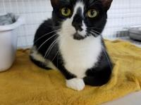 Marble is a 9 month old DSH kitten available for