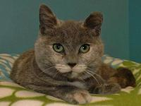 Marble's story Female/DSH/Dilute Tortie. DOB: 6/27/14.