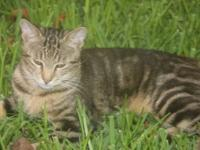 Marble Bengal Kittens - 11 months old! Silver with