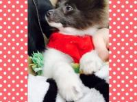 Beautiful 6 month pom girl needs a loving home as I
