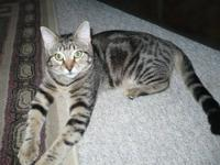 I have a six month old marbled bengal female looking