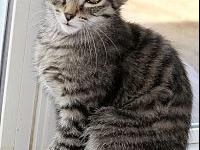 Marco's story Marco, Neutered Gray and Black Tabby