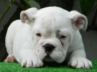 Marcy is a white female English Bulldog puppy with