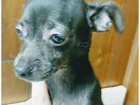Marcy's story Marcy is a 15 week old Chihuahua who came