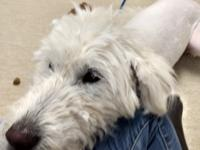 "One and  1/2 yr old ""Doodle ish"" female ~75lbs. She is"