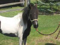 FOR SALE: Black & White Mare Pony Gentle $300 For more