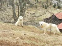 Livestock Guardian Dogs on a working sheep and cattle