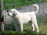 Beautiful four month old 7/8th's Maremma female