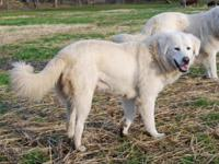 These stunning puppies are 7/8th Maremma. They were