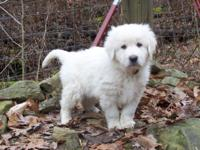 We have a litter of purebred Maremma Sheepdogs that