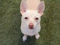 Margo's story Margo is a young little female chihuahua