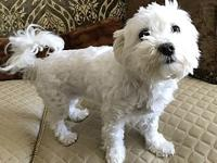 Marilyn's story Marilyn is a purebred Maltese female