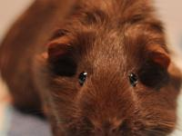 This pretty 9 month old chocolate agouti american girl
