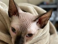 $1500 USD  Breed: Sphynx Sex: Male Champion Bloodlines: