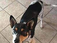 Marley's story Meet Marley! He is a Blue Heeler mix